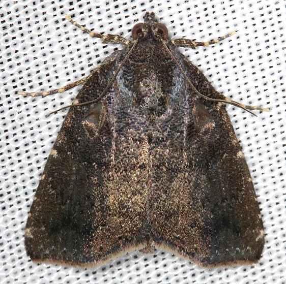 9069 Hook-tipped Amyna Moth tenative NABA Gardens Texas 11-3-13