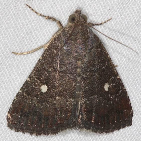 9070 Eight-spot Moth yard 9-15-16_opt