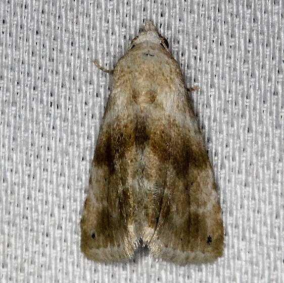 9076 Everlasting Bud Moth NABA Gardens Mission, Texas 11-4-13