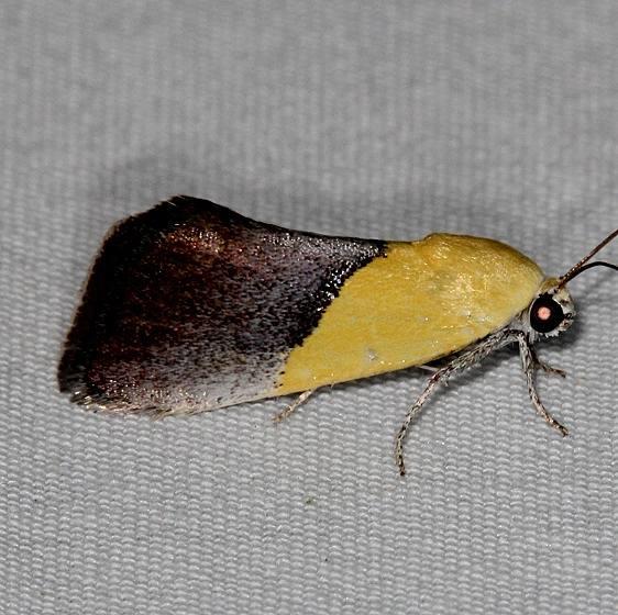 9085 Half-yellow Moth Mesa Verde Natl Pk Colorado 6-10-17 (12)_opt