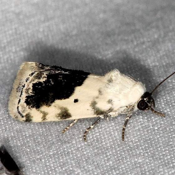 9095 Small Bird-dropping Moth Huffman Prairie WPAFB Dayton Oh 7-27-14