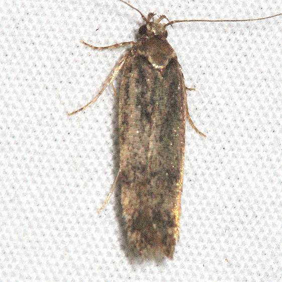 9102 Ponometia fasciatella BG Mesa Verde Colorado 6-11-17 (2)_opt