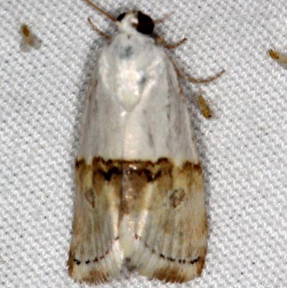 9109 Arizona Bird-dropping Moth Moab RV Resort Moab Utah 6-4-17 (17)_opt