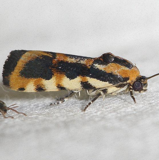 9127 Common Spragueia Moth yard 6-15-12