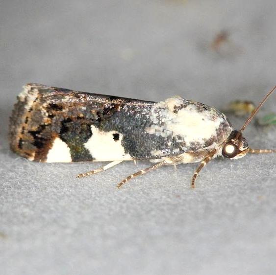 9136 Exposed Bird-dropping Moth female yard 6-5-13