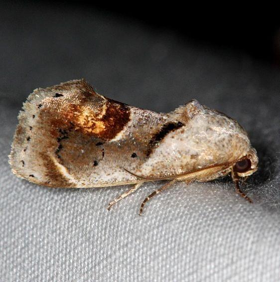 9145 Tarache terminimaculata Curve-lined Bird-dropping Moth Kissimmee Lake St Pk 3-9-14
