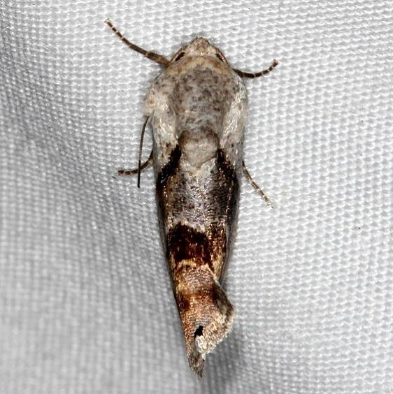 9145 Tarache terminimaculata Curve-lined Bird-dropping Moth Kissimmee Lk St Pk 3-9-14