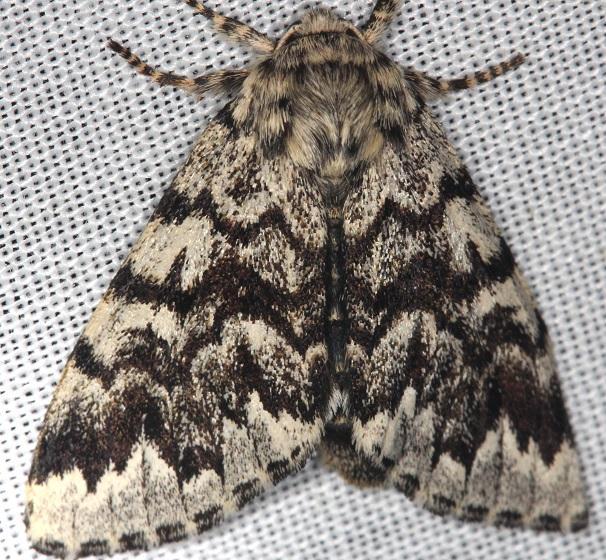 9177 Black Zigzag Moth Thunder Lake UP Mich 6-23-13