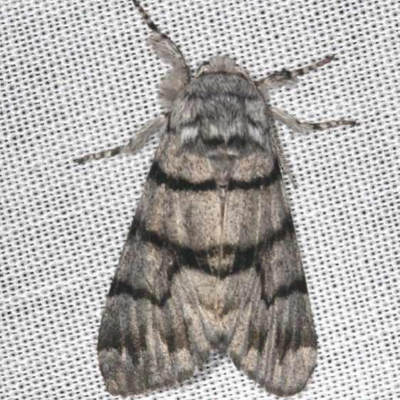 9182 Eastern Panthea Moth yard Orient Oh 8-11-13