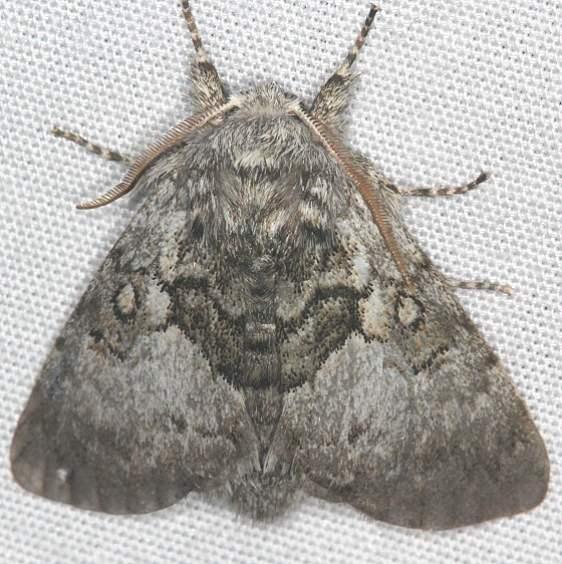 9184 Yellowhorn moth Mothapalooza Shawnee St Forest Oh 7-7-17 (82)_opt