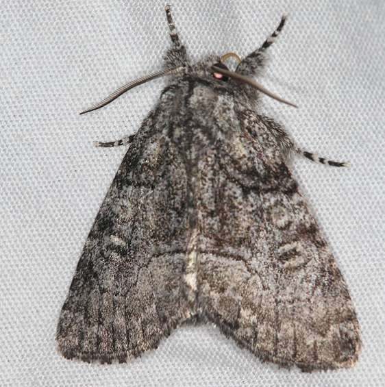 9192 Abrupt Brother Moth Lake of the Woods Ash Rapids Lodge 7-16-17 (13)_opt