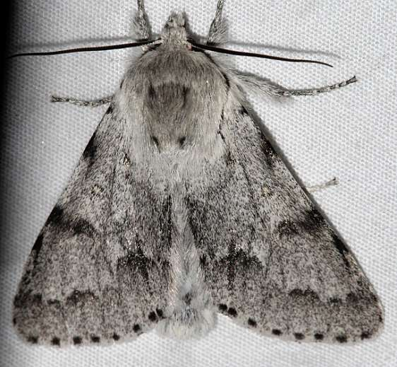 9206 Acronicta vulpina Mueller St Pk Colorado 6-20-17 (29)_opt