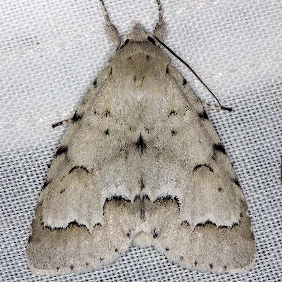 9207 Unmarked Dagger Moth Thunder Lake Mich UP 6-24-13