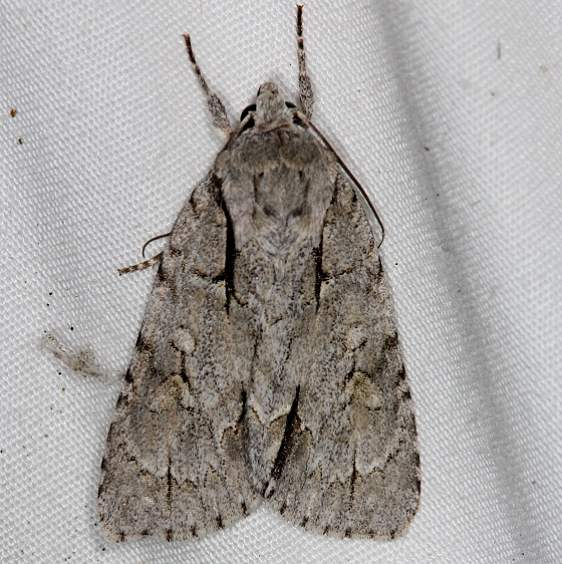 9212 Gray Dagger Moth Acronicta grisea yard 7-11-14