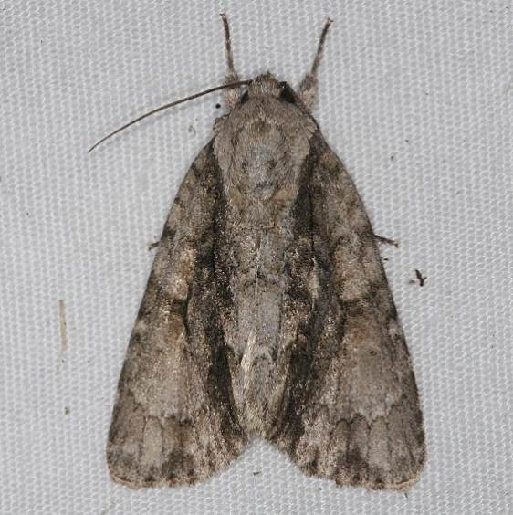 9219 Connected Dagger Moth yard 9-5-14