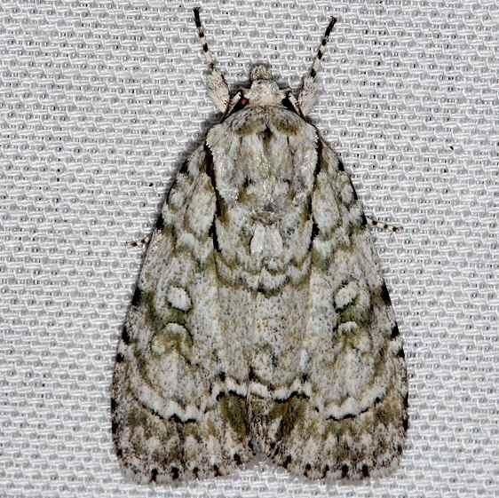9225 Delightful Dagger Moth Kissimmee Prairie St Pk 2-16-14