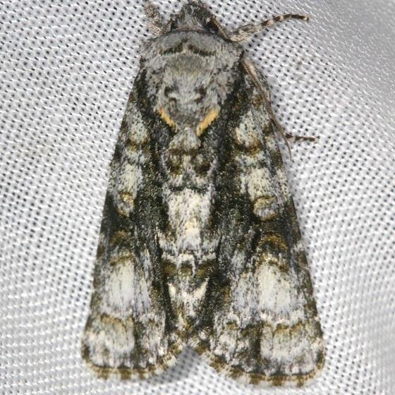 9226 Spendid Dagger Moth Thunder Lake Mich UP 6-22-13