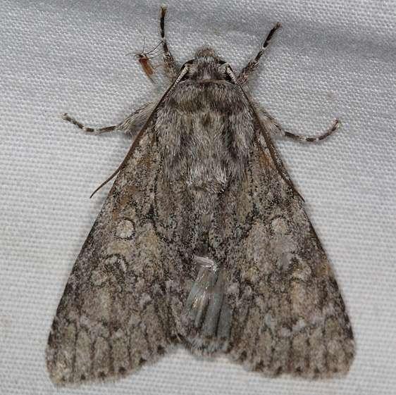9235 Nondescrpt Dagger Moth yard 5-25-15