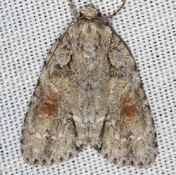 9236 Ochre Dagger Moth Battelle Darby Metro 8-26-17 (4)_opt