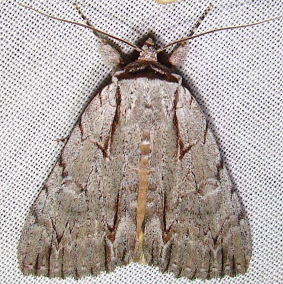 9236 Ochre Dagger Moth Paynes Prairie St Pk 3-21-12