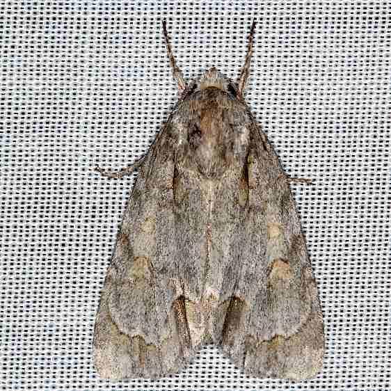 9236 Ochre Dagger Moth yard 8-15-16 (1)_opt