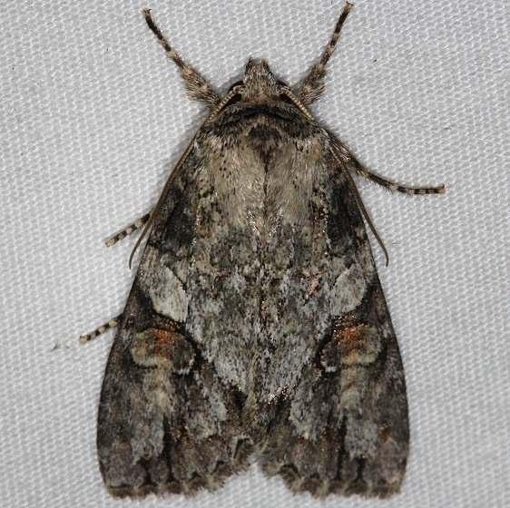 9242 Exiled Dagger Moth Thunder Lake Up Mich 6-22-14