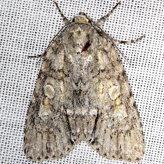 9244 Medium Dagger Moth Acronicta modica Shawnee St Pk Oh 6-15-13