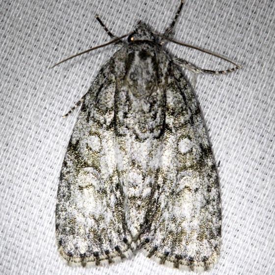9246 Clear Dagger Moth Thunder Lake UP Mich 6-23-13
