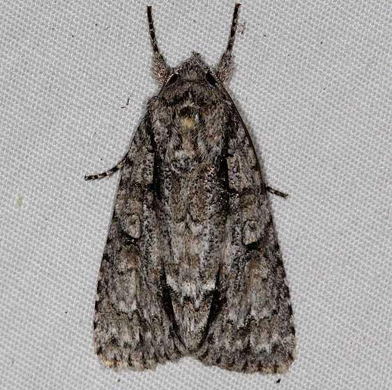 9246 Clear Dagger Moth yard 5-26-16