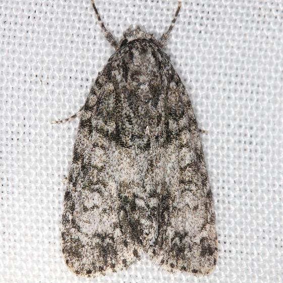 9251 Retarded Dagger Moth yard 7-26-13