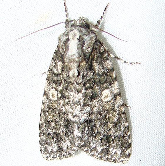 9254 Afflicted Dagger Moth Payne's Prairie St Park 3-20-12