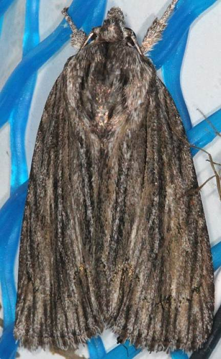 9266 Streraked Dagger Moth Copperhead firetower Shawnee St Pk 8-6-16