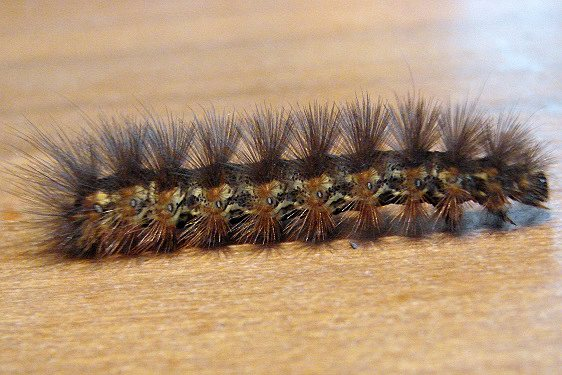 9280 Henry's Marsh Caterpillar found on Carson Rd 9-24-10