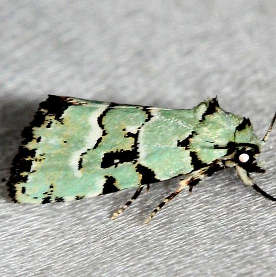 9297.2 Elaphria cyanympha Alexander Springs Ocala Natl Forest 3-18-13