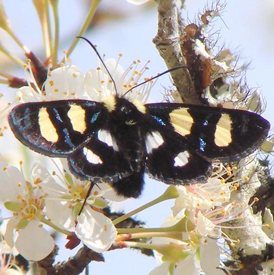 9316 Wittfeld's Forester Moth Gold Head Branch St Pk Fl 2-15-12