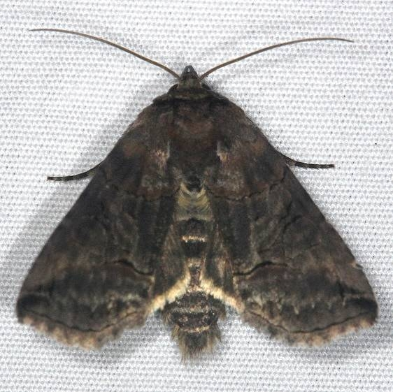 8881 Specticled Nettle Moth Huffman Prairie WPAFB Dayton Oh 7-27-14