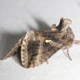 8895 Gray Looper Moth yard 8-6-12