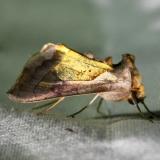 8897 Diachrysia balluca (Hologram Moth) Adams Co Oh 9-13-09