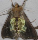 8897 Hologram Moth Lake of the Woods Ontario 7-21-16