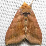 8898 Unspotted Looper Moth yard 8-31-12
