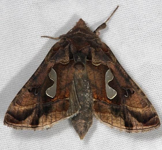 8907 Bolobed Looper Moth yard 6-12-14