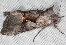 8927 Epigaea Looper Moth Lake of the Woods Ontario 7-19-16