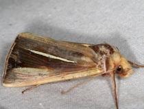 8953 White-streaked Looper Moth Lake of the Woods Ontario 7-25-16