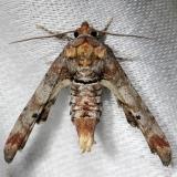 8955 Dark Marathyssa Moth Alexander Springs Ocala Natl Forest 3-18-13