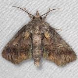 8959 Pygmy Paectes Moth Turkey Lake Shawnee St Pk Oh 6-12-15