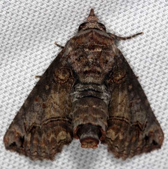 8962 Large Paectes Moth Tosohatchee WMA Fl 2-11-14