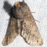 8962 Large Paectes Moth worn yard 5-24-12
