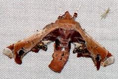 8968 Beautiful Eutelia (pulcherrimus) yard 5-20-09