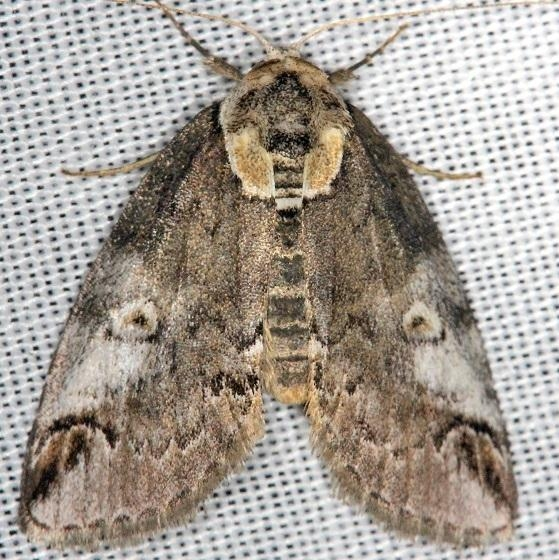 8970 Eyed Baileya Moth Thunder Lake Mich UP 6-22-13