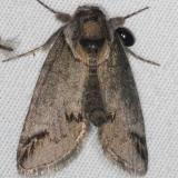 8970 Eyed Baileya Moth yard 5-25-15 (4)_opt